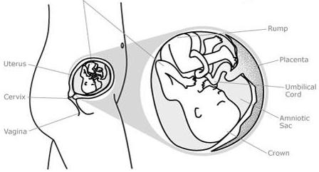 etapas del embarazo segundo trimestre